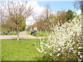 UUU8506 : Teltow - Suedspitze der Kirschbluetenallee (Southern End of Cherry Blossom Avenue) by Colin Smith