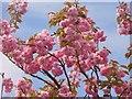 UUU8408 : Teltow - Kirschblueten (Cherry Blossom) by Colin Smith