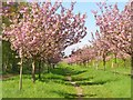 UUU8407 : Teltow - Kirschblueten (Cherry Blossom) by Colin Smith